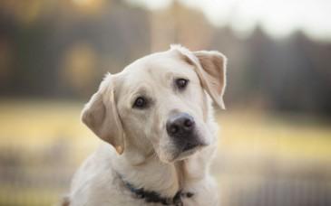 labrador-dog-face-hd-wallpaper-768x480