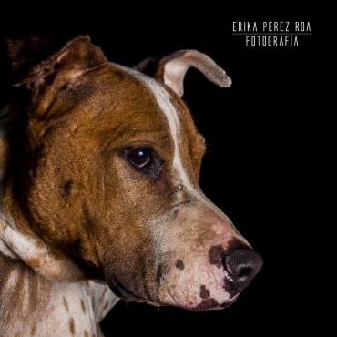 Soy Orion, estoy muy flaquito porque me quitan la comida, soy amoroso, un mestizo de pitbull con labrador, esterilizado de 5 años